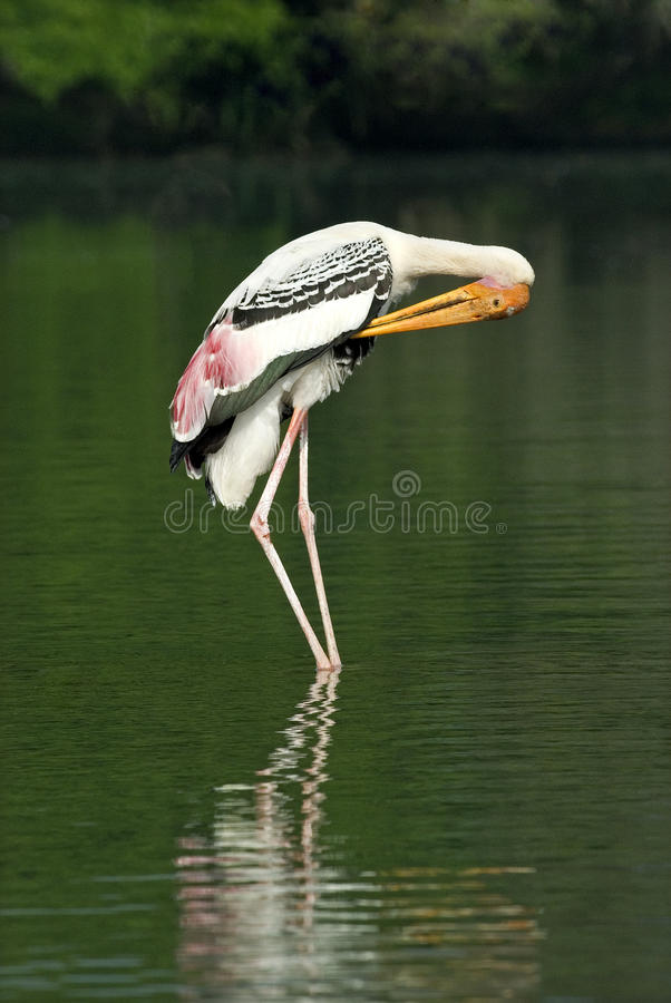 Painted stork preening royalty free stock photo