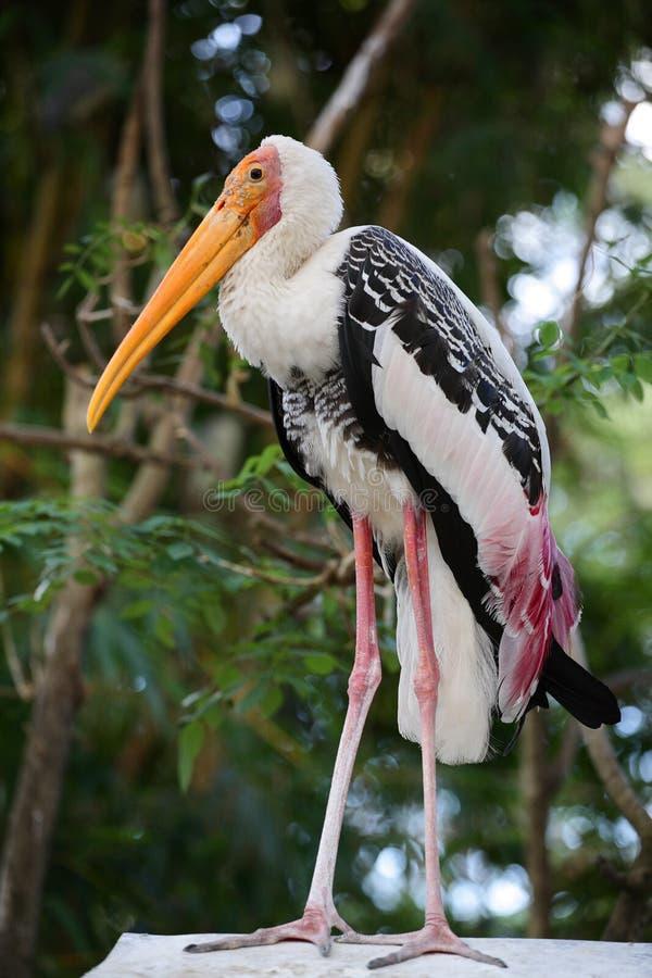 Painted stork resting. Wildlife India royalty free stock photos