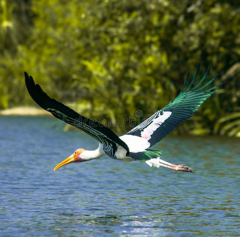 Painted Stork royalty free stock photo
