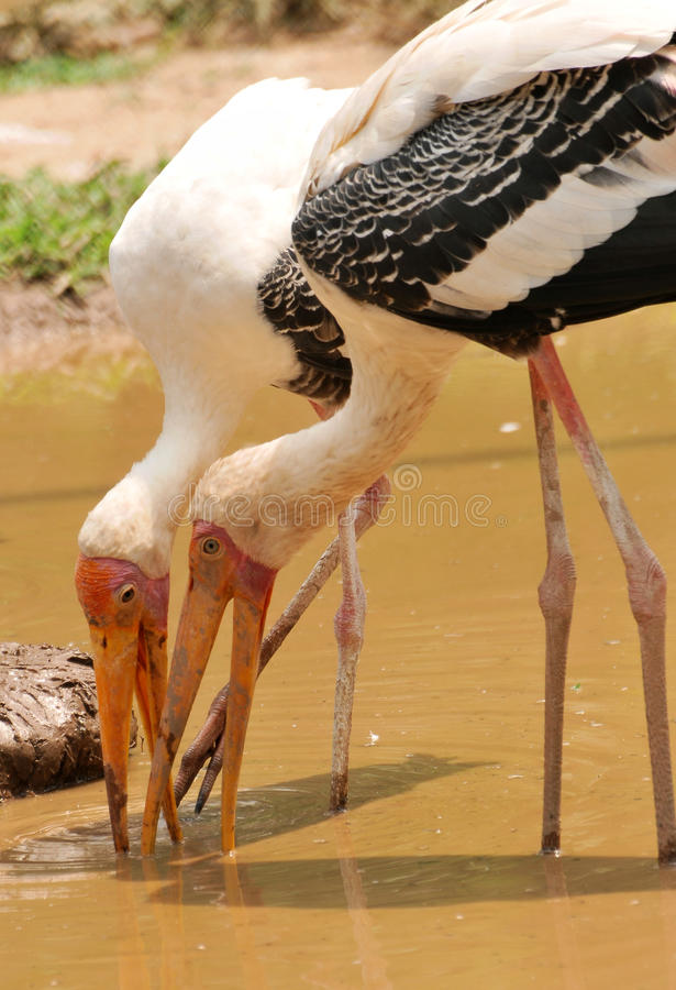 Free Painted Storks Royalty Free Stock Photo - 10205885