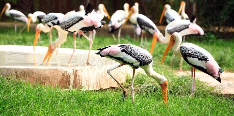 Download Painted storks stock image. Image of vertebrate, vertical - 19957073