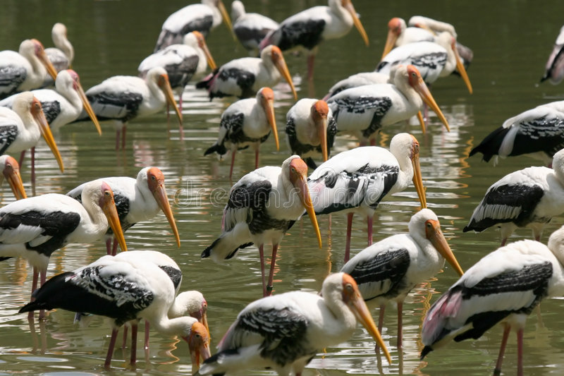 Painted Storks. Resting in the shallows of a lake stock photos