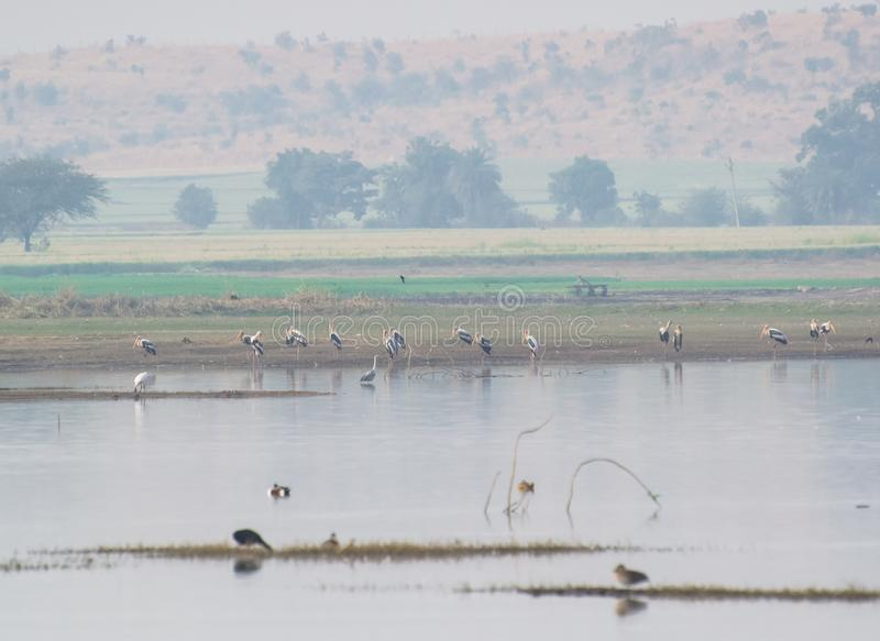 Painted Storks Flock at the Wetland and lake Landscape stock photography