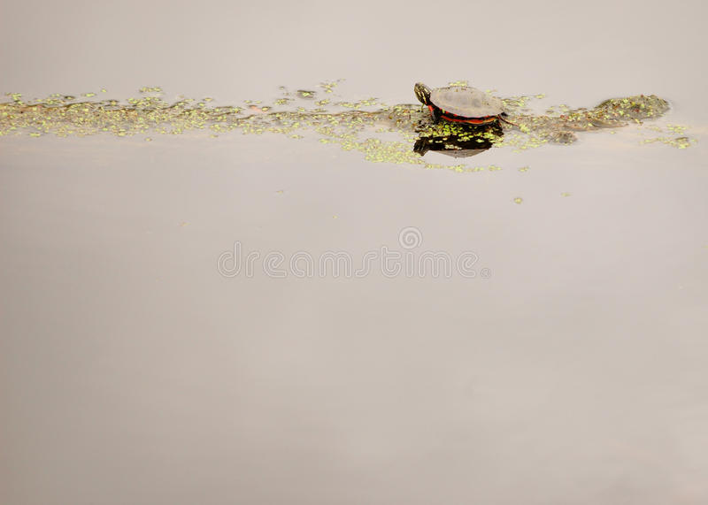Download Painted Turtle stock image. Image of fauna, copy, wildlife - 19593875