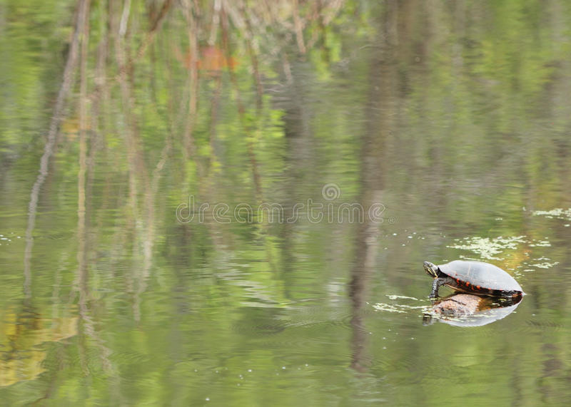 Download Painted Turtle stock photo. Image of amphibian, perched - 19678628