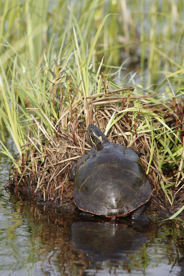 Download Painted turtle stock image. Image of wildlife, reptile - 21743365