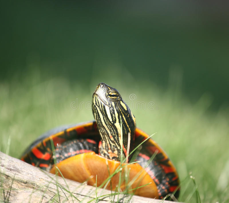 Download Painted Turtle Climbing Over Log Stock Image - Image of colorful, animal: 10506345