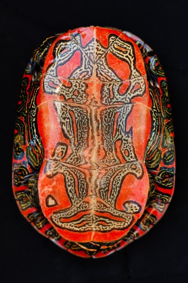 Free Painted Turtle Plastron Stock Image - 37470381