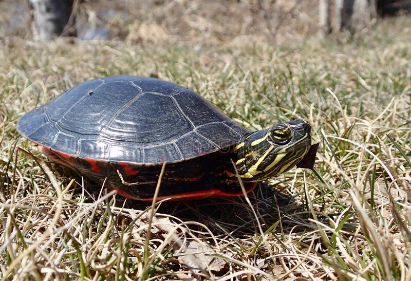 Painted Turtle in the wilderness royalty free stock image