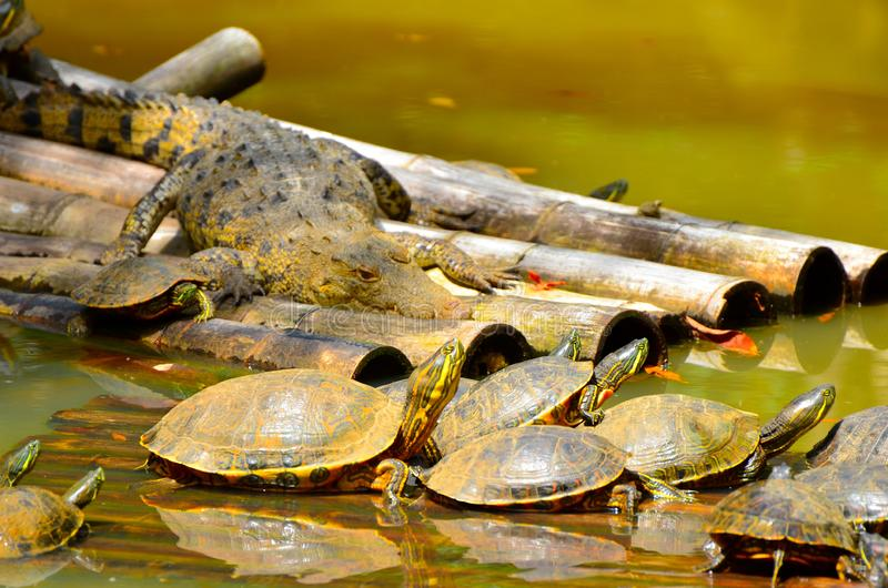 Painted turtles and a crocodile Belize Zoo stock photography