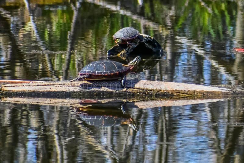 Painted Turtles on Logs in Lake royalty free stock image
