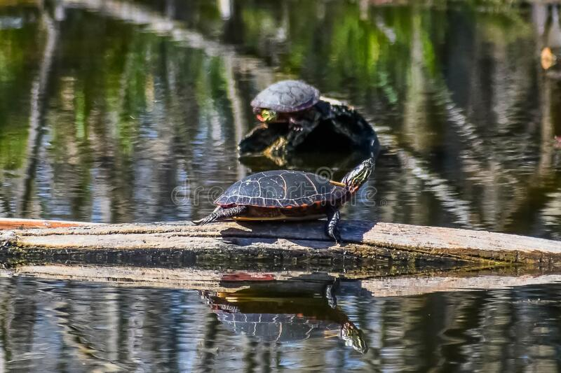 Painted Turtles on Logs in Lake royalty free stock images