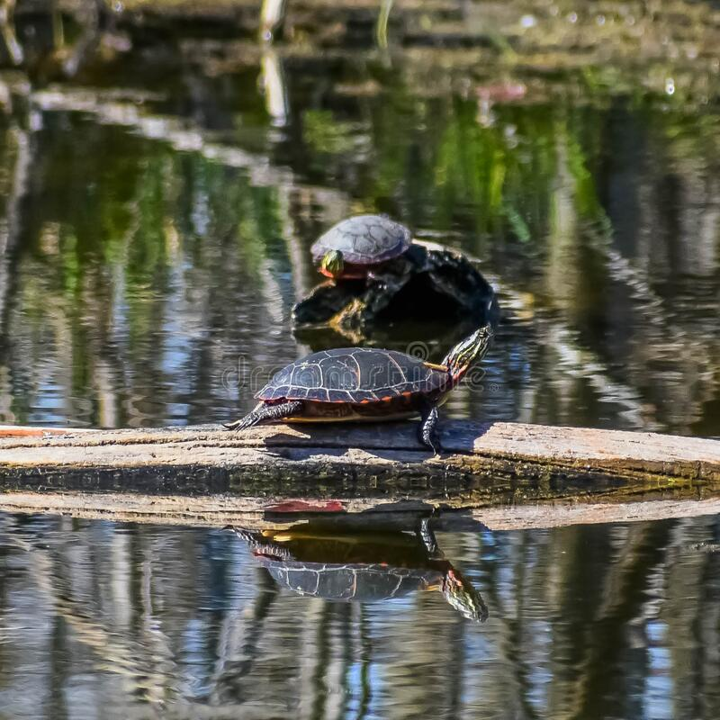 Painted Turtles on Logs in Lake stock photo