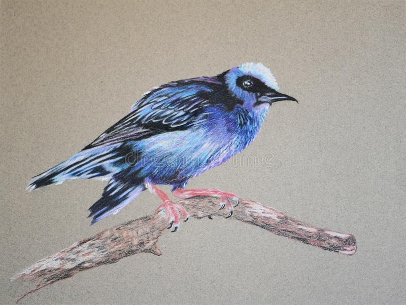 Painting of honeycreeper bird on tree branch stock photo