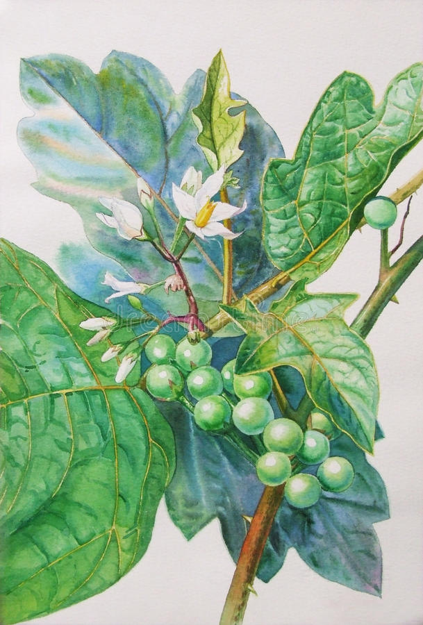 Painting original realistic herb of turkey berry and green leaves royalty free illustration