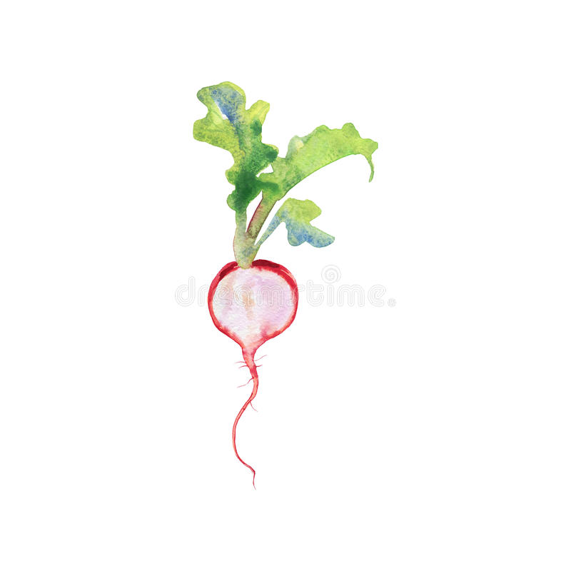 Painting ripe radish with top on white background. Hand drawn isolated fresh spring vegetable vector illustration