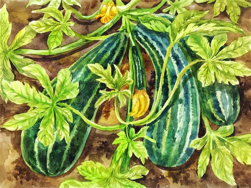 Painting of zucchini. Hand-drawn watercolor vintage botanical ba. Ckground suitable for poster, postcard or summer illustration vector illustration