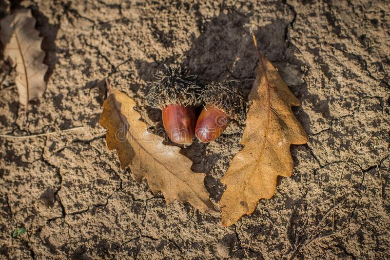 Pair of acorns and fallen leaves of Turkish oak / Quercus cerris royalty free stock photography