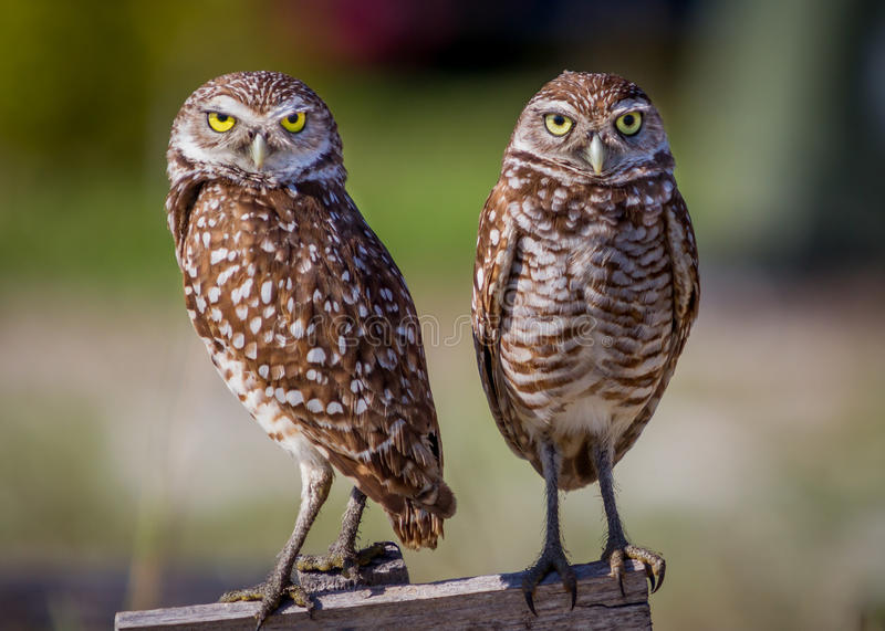 Pair of adorable borrowing owls stock image