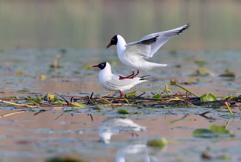 A pair adult black headed gulls on the nest. stock images