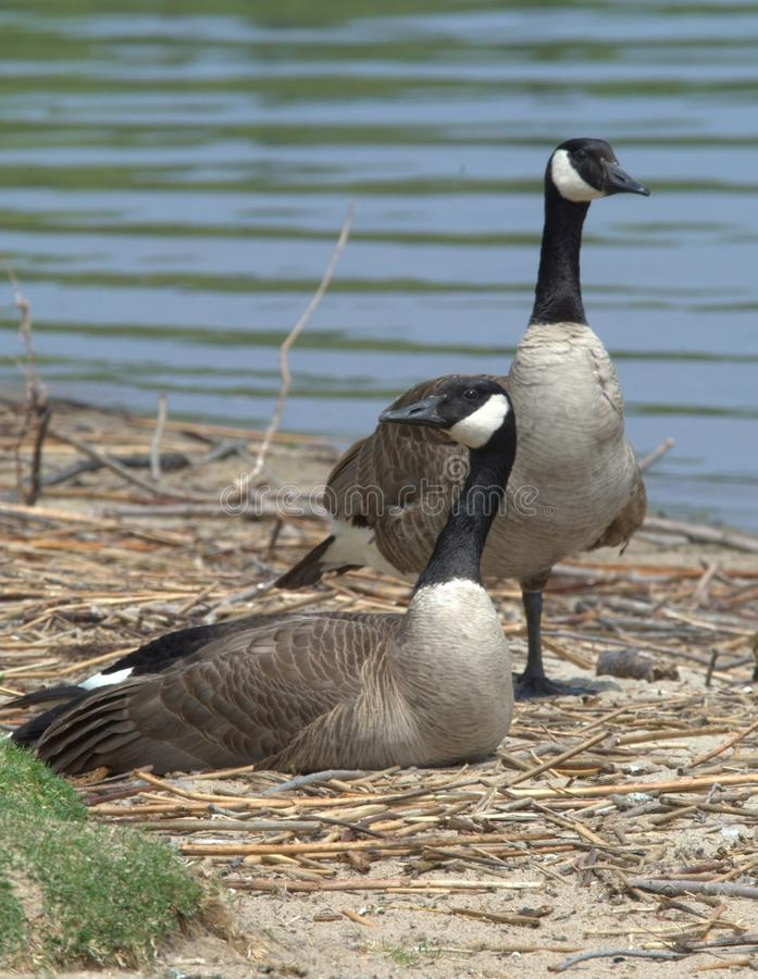 A pair of Canadian Geese at rest. royalty free stock photo