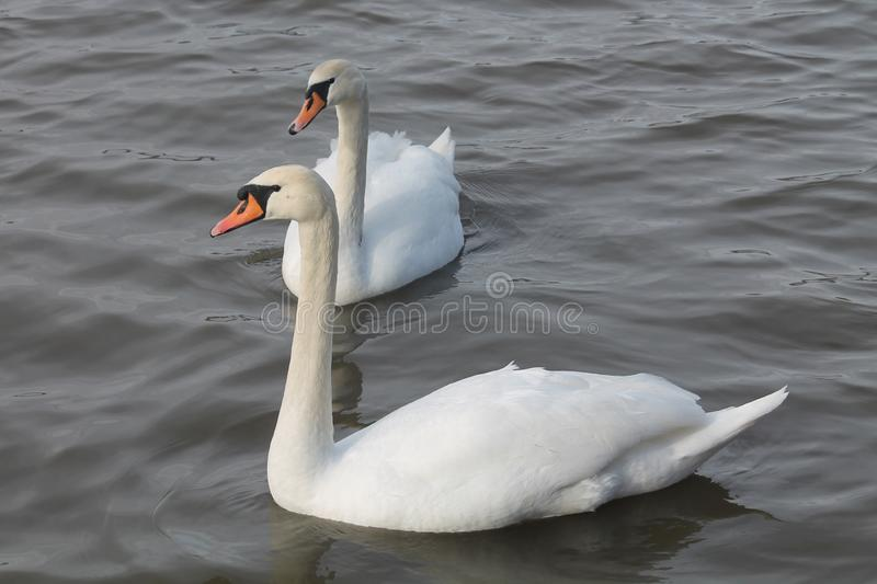 Pair of adult white mute swans Cygnus olor afloat. Belarus stock photography
