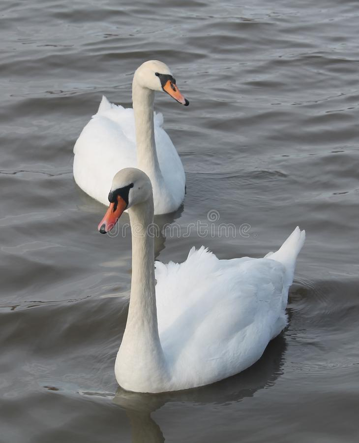 Pair of adult white mute swans Cygnus olor afloat. Belarus royalty free stock photo