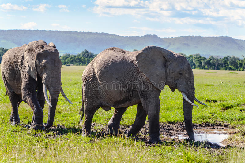 Pair Of African Elephant Stock Photos