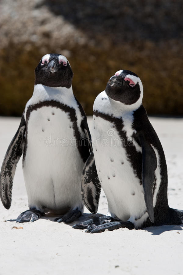 Download Pair Of African (Jackass) Penguins Stock Photos - Image: 24347963