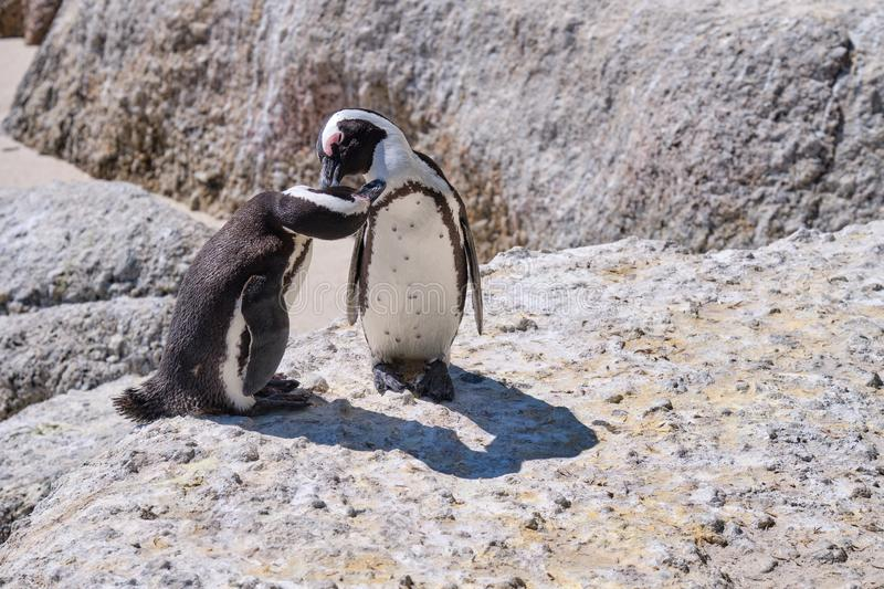 African Penguin colony stock photography