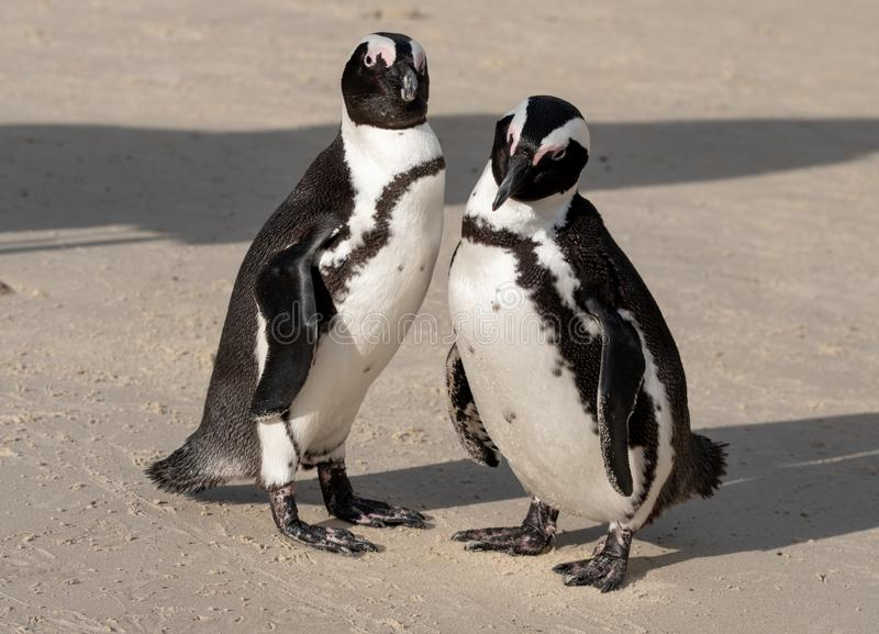 Pair of African penguins on the sand at Boulders Beach in Cape Town, South Africa. African penguins on the sand at Boulders Beach in Simonstown, Cape Town stock photos