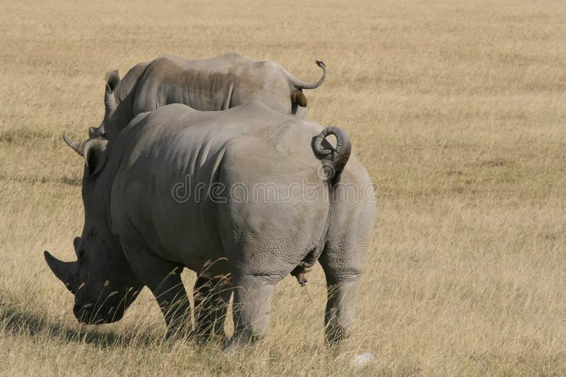 Pair African White Rhino, square-lipped rhinoceros, Lake Nakuru, Kenya. African White Rhino, square-lipped rhinoceros, Lake Nakuru, Kenya royalty free stock photography