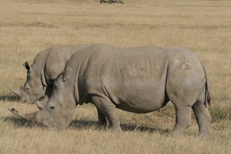Pair African White Rhino, square-lipped rhinoceros, Lake Nakuru, Kenya. African White Rhino, square-lipped rhinoceros, Lake Nakuru, Kenya stock images