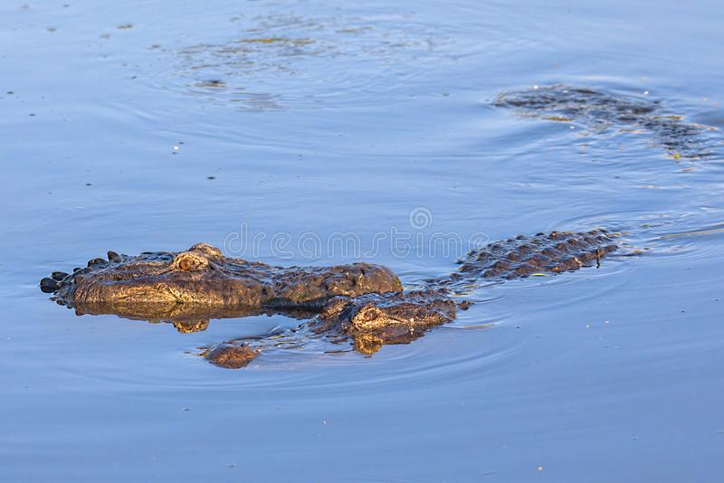 Pair Of Alligators Above Water. With sun glow on them royalty free stock image