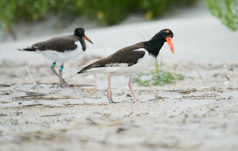 A pair of American Oystercatchers. A pair of adult American Oystercatchers walking inside the colony of Black Skimmers and Least Terns at Wrightsville Beach in royalty free stock image