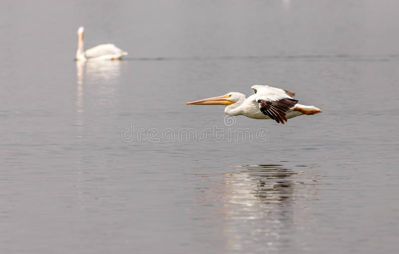 A pair of American white pelicans floating and flying on a Northeastern Colorado lake. A pair of American White Pelicans floating and flying on a small Colorado royalty free stock images