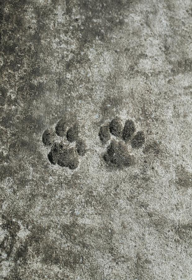 pair of animal prints cat trail froze on a concrete path in th royalty free stock image