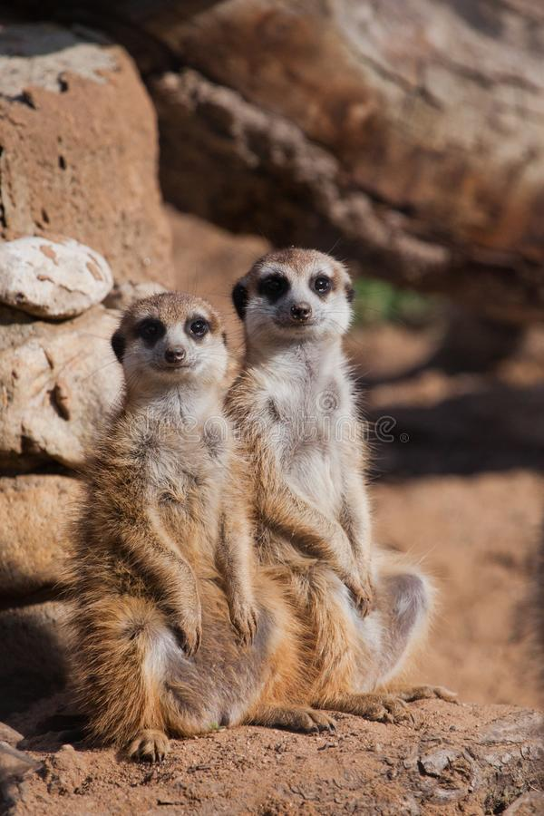 A pair of animals .. A watchful  peppy meerkat Timon on a sandy desert background is watching closely. A pair of animals .. A watchful and peppy meerkat Timon on stock photo