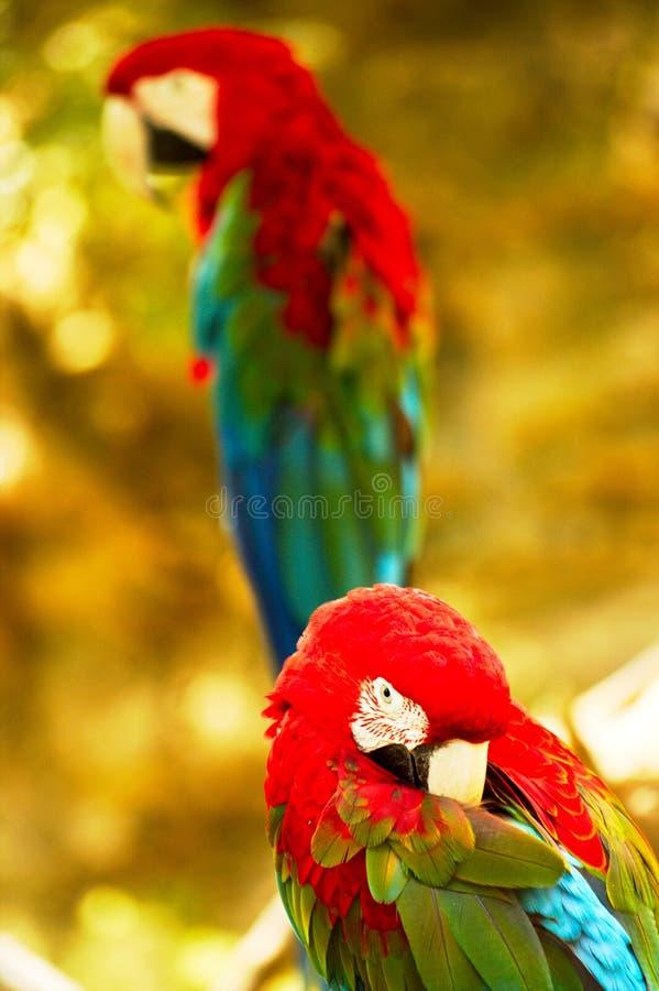 Pair of Ara Chloroptera parrots royalty free stock images
