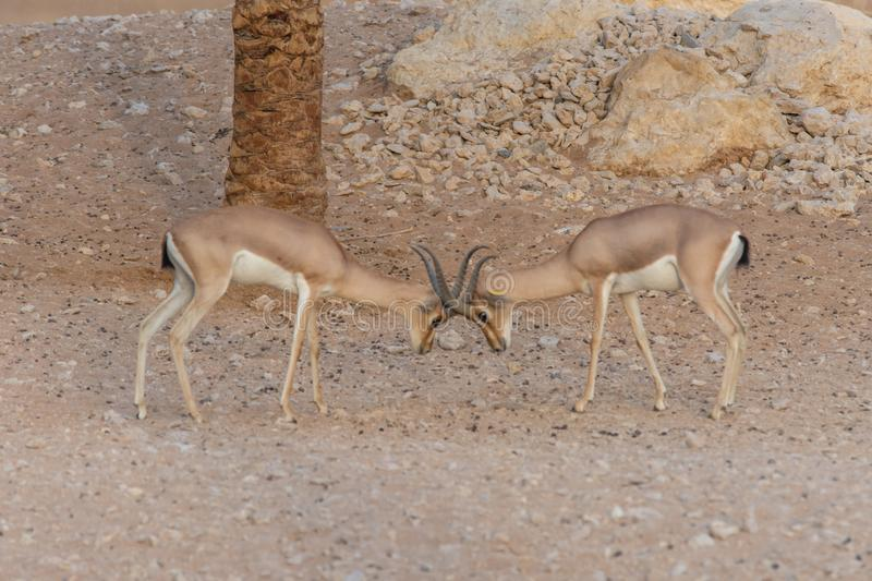 A pair of Arabian Sand Gazelles Gazella marica in the rocks of the United Arab Emirates UAE fighting and locking horn or. Antlers stock photos