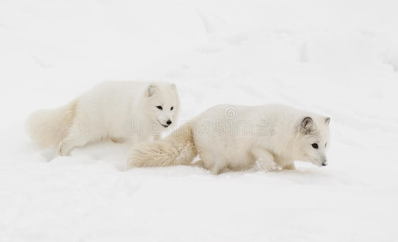 Pair of arctic fox on snow hill with one following the other dow royalty free stock photos