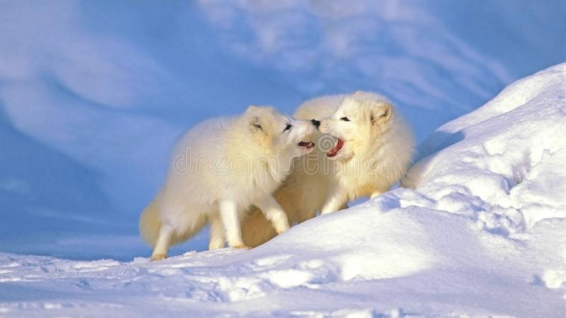 Pair of Arctic Foxes meeting on arctic winter ice. Beautiful Pair of Arctic Foxes, together in winter, during mating season, facing each other stock photo