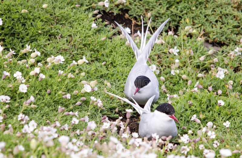 Pair of Arctic Tern Seabirds. Arctic Tern seabirds on the Isle of May, East coast of Scotland stock photo