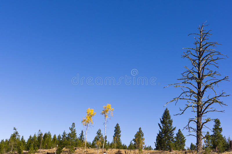 Pair of aspens in autumn colors stock images