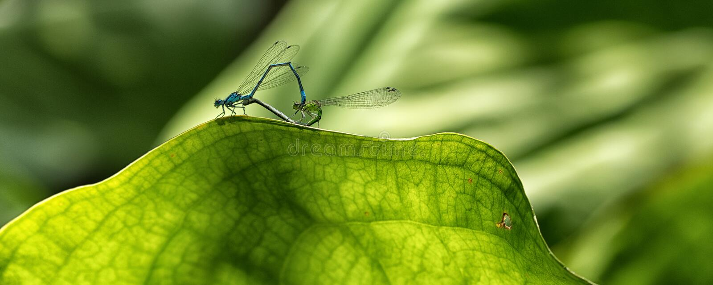 Pair of Azure damselflies on green sunlit leaf. stock photos