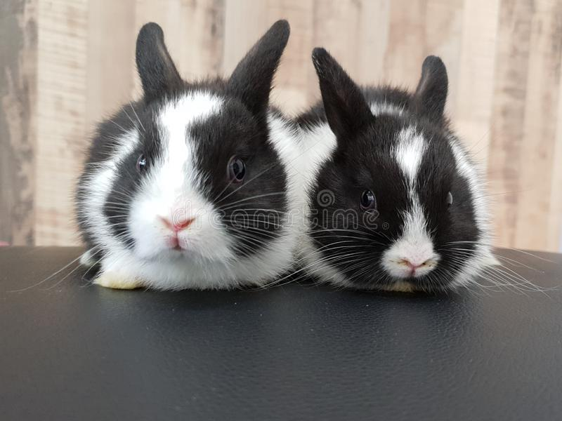 Pair of baby netherland dwarf rabbits stock image