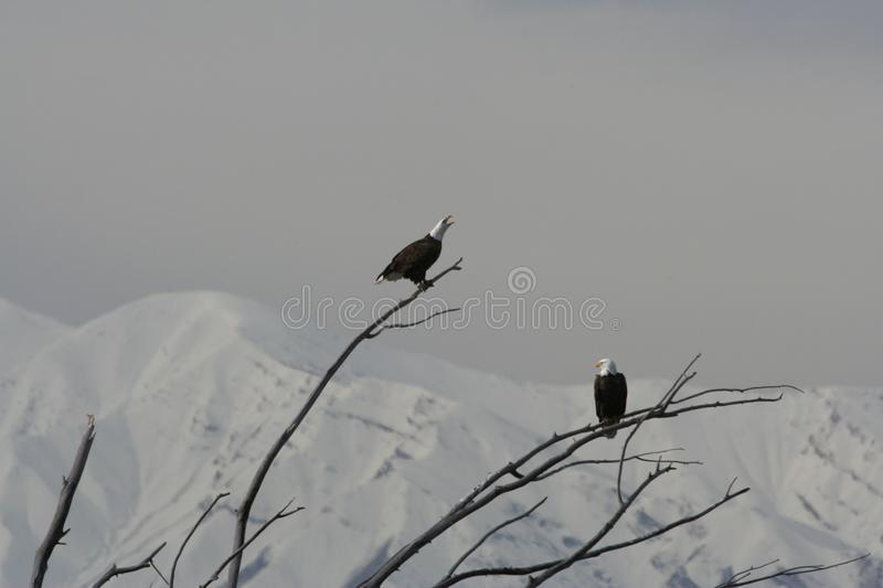 Pair of Bald Eagle Haliaeetus leucocephalus royalty free stock photography