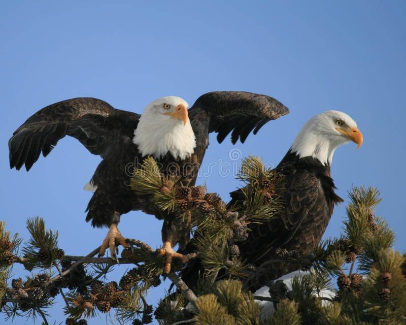 Download Eagles stock photo. Image of pair, couple, eagle, wings - 29837316