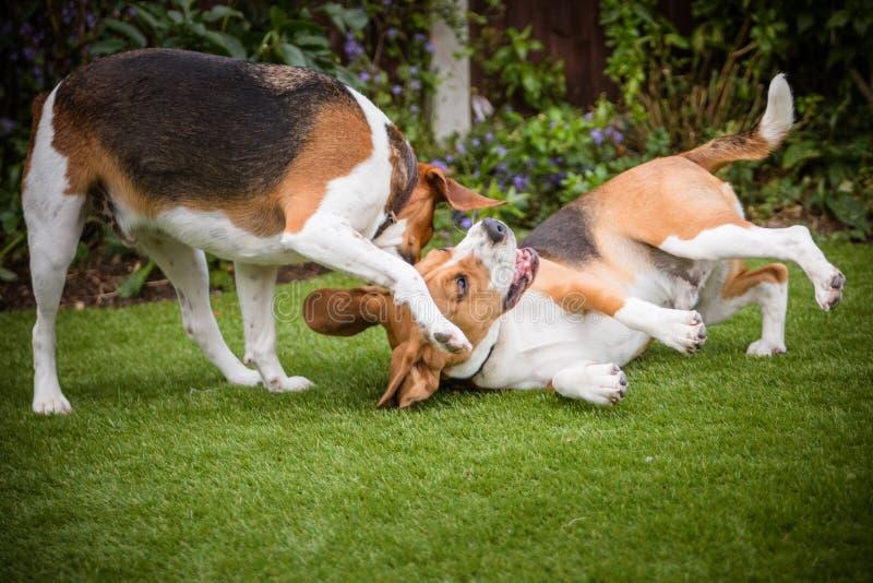 pair of Beagles royalty free stock photo