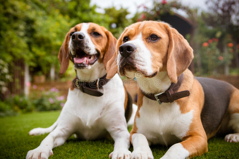 Pair of beagles laying down on grass stock photography